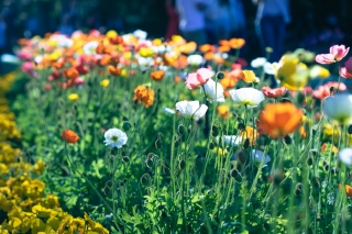 Toowoomba Carnival of Flowers (TCOF) 2021, เทศกาลดอกไม้เมืองทูวูมบา 1-30 ก.ย.